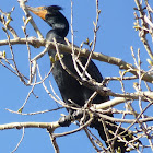 Double Crested Cormorant (Breeding Adult)