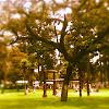 Ecuadorean Oak Tree