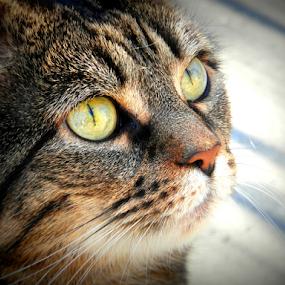 Millie by Nicola Graham - Animals - Cats Portraits ( cats, animals, portraits,  )