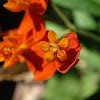 Mexican Butterflyweed