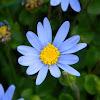 Blue Marguerite (μπλε μαργαρίτες)