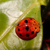 10 spot ladybug