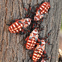 Mesquite Giant Beetle