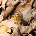 Hydaspe Fritillary
