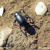 Escarabajo. Beetle