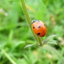 Mariquita de siete puntos. Seven-spot ladybird