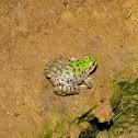 Greek marsh frog (Ελληνικός Βαλτοβάτραχος)
