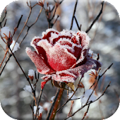 Winter Flowers Live Wallpaper