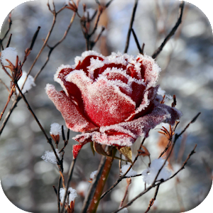 Winter Flowers Live Wallpaper Android Apps On Google Play