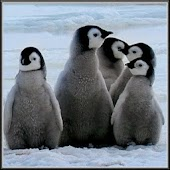 Arctic Penguins Live Wallpaper