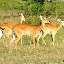 Ugandan Kob Thomasi Antelope