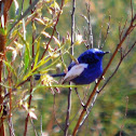 White-Winged fairy Wren (Blue & White Form, Male)