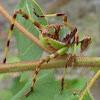 Long-horned Grasshoppers - Katydids