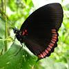 Red Rim or Crimson-banded Black