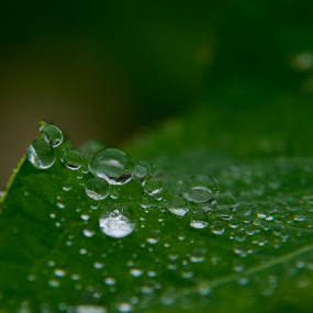 Droplets by Ian Thompson - Nature Up Close Natural Waterdrops ( nobody, macro, nature, no people, green, drops, leaf, outside, closeup, rain, droplets,  )