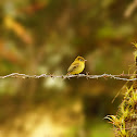 Yellowish Flycatcher (Mosquerito Amarillento)