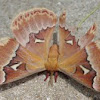 Tulip-tree Silk Moth