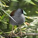 Tagüita / Spot-flanked Gallinule