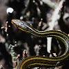 Western Ribbon Snake