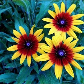 triplet beauty... by Doru Sava - Flowers Flower Gardens ( flowers )