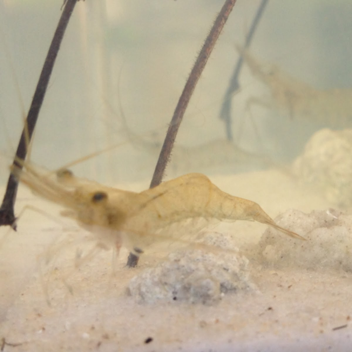 Eastern Grass Shrimp
