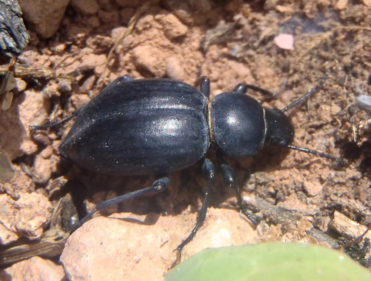 Darkening beetles. Escarabajo de la muerte