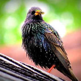 Starling  by Patti Hobbs - Animals Birds ( animals birds starling lunch anyone )