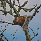 Costa Rica Variegated Squirrel