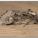 Chosen Sallow Moth