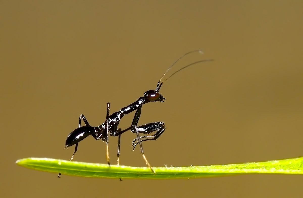 Asian Ant Mantis
