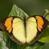Yellow Orange Tip