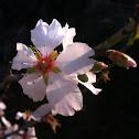 Almond tree. שקדיה