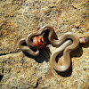 Prairie Ring-necked Snake