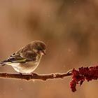 Greenfinch,female