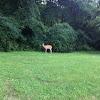 Whitetail deer ....doe