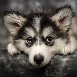 Talkeetna 10 Weeks by Stuart Partridge - Animals - Dogs Portraits (  )