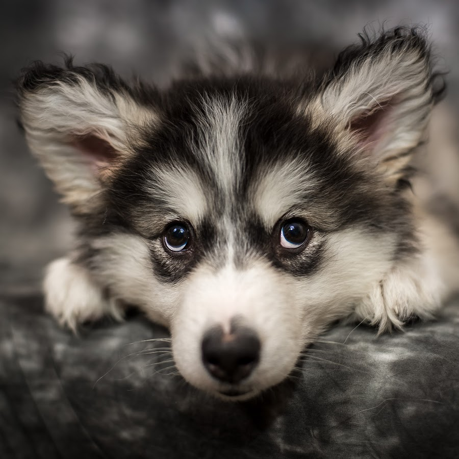 Talkeetna 10 Weeks by Stuart Partridge - Animals - Dogs Portraits (  )