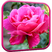 Pink Rose Video Live Wallpaper