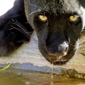 Black Leopard by Kleintjie Loots - Novices Only Wildlife ( water drops, big cats, cat portraits, close-up )