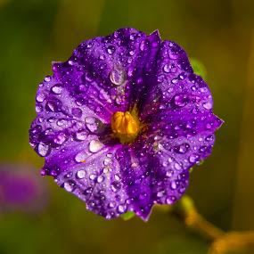 Flower, wet flower, purple flower by Adriaan Vlok - Flowers Single Flower (  )