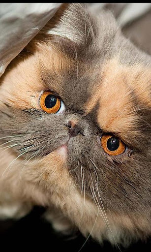 Exotic Shorthair Wallpapers