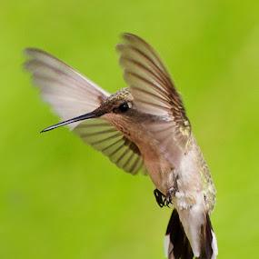 GOOOOAL! by April Nowling - Animals Birds ( bird, fly, flight,  )
