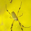 Araña seda de oro, Golden orb web spider