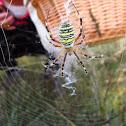 Wasp spider / Araña tigre