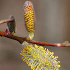 Willow catkins, inflorescencias de sauce