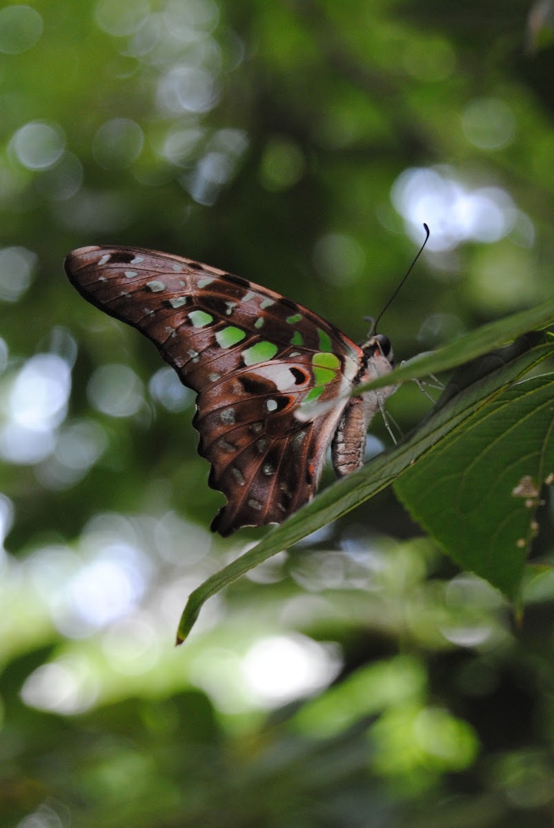 Tailed Jay(统帅青凤蝶)