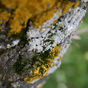 Lichen (Lichene)