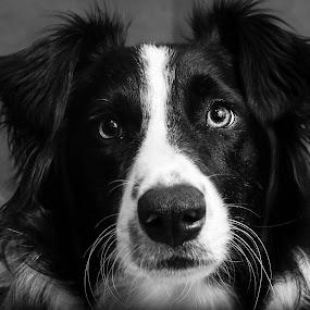 by Bonnie Filipkowski - Animals - Dogs Portraits (  )