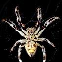 Garden Orb Weaver Spider
