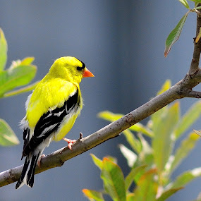 Goldfinch by Shawn Crowley - Animals Birds